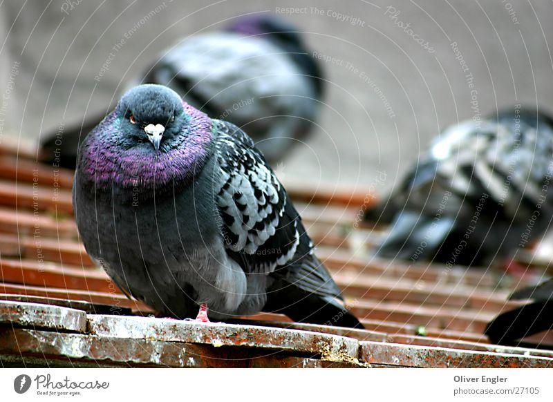 Taube in Münschen Vogel