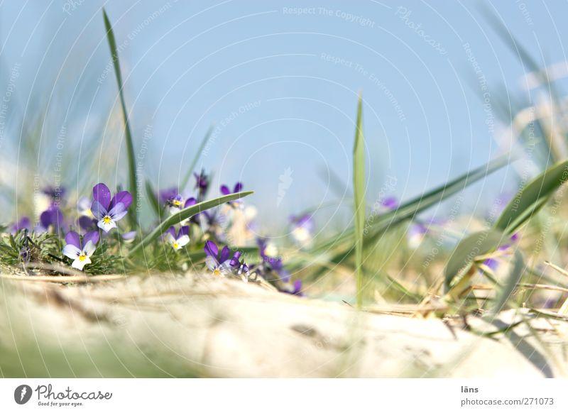 Hiddensee l Still Umwelt Landschaft Gras Küste Blüte Wachstum Ostsee Wolkenloser Himmel