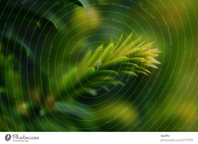 der Duft des Nadelwaldes Umwelt Natur Pflanze Nadelbaum Tannennadel Zweig Wachstum grün Frühlingsgefühle ruhig Waldstimmung grün-gelb dunkelgrün frisch