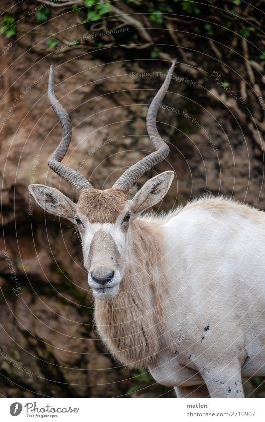 Mendesantilope Baum Gras Wald Tier Wildtier Tiergesicht Fell 1 braun grau grün weiß Antilopen Horn Farbfoto Gedeckte Farben Außenaufnahme Textfreiraum links