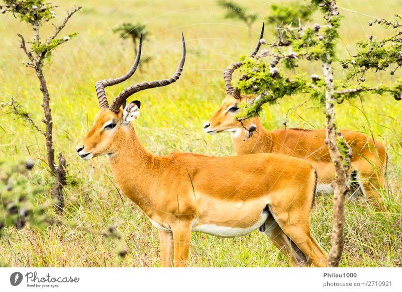 Zwei männliche Impalas im Nairobi Park schön Safari Mann Erwachsene Natur Tier natürlich wild grün schwarz Aepyzeros Afrika Afrikanisch Tiere Antilopen