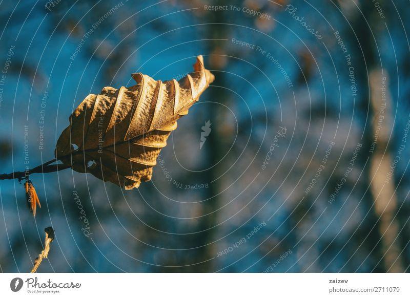 Nahaufnahme eines getrockneten Herbstblattes, das an einem Zweig hängt schön Leben Tapete Natur Pflanze Blatt Traurigkeit Wachstum natürlich braun Hoffnung Tod