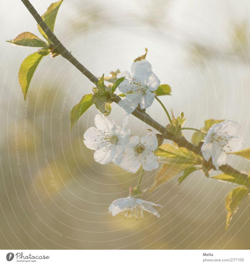 6 Uhr abends Umwelt Natur Pflanze Frühling Baum Blüte Ast Zweig Kirschblüten Blühend Wachstum Duft schön natürlich weich Kitsch Farbfoto Außenaufnahme
