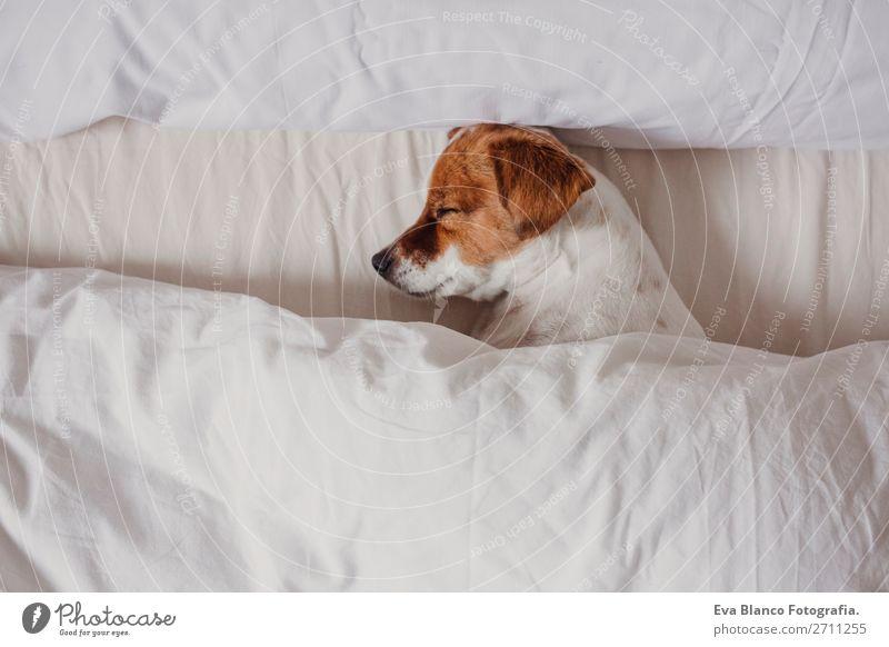 süsse zarte weiß-braune Jack Russell schläft auf einem Bett. Glück Krankheit Leben Erholung Winter Haus Schlafzimmer Familie & Verwandtschaft Tier Herbst Wetter