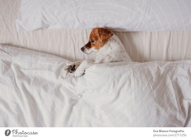 süßer Hund schläft auf dem Bett mit weißen Laken Glück Krankheit Leben Erholung Winter Haus Schlafzimmer Familie & Verwandtschaft Tier Herbst Wetter Wärme