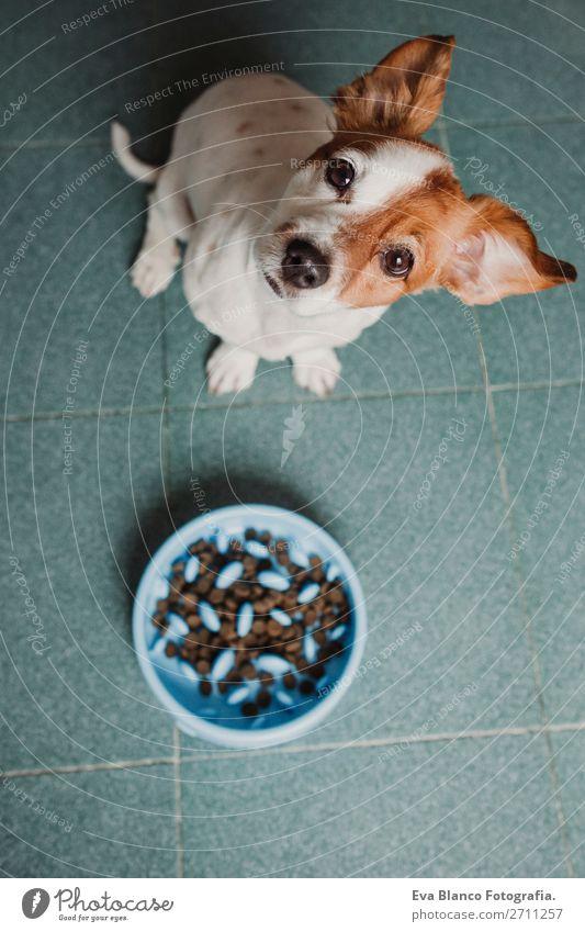 süßer kleiner Hund sitzend und wartend auf das Essen Frühstück Mittagessen Abendessen Diät Schalen & Schüsseln Lifestyle Haus Schule Tier Haustier füttern