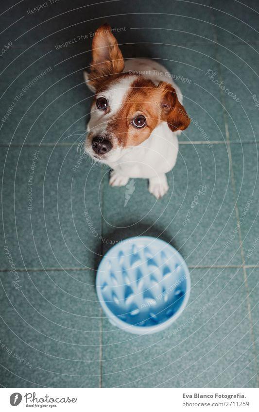 Hund weiß Haus Speise Tier Essen Lifestyle klein Schule braun sitzen niedlich Frühstück Haustier Diät Schalen & Schüsseln