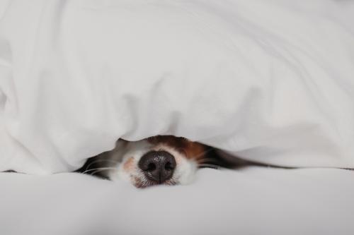 süßer Hund auf dem Bett liegend Glück Krankheit Leben Erholung Winter Haus Schlafzimmer Familie & Verwandtschaft Tier Herbst Wetter Wärme Haustier Liebe