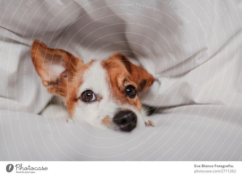 süßer Hund auf dem Bett liegend Glück Krankheit Leben Erholung Winter Haus Schlafzimmer Familie & Verwandtschaft Tier Herbst Wetter Wärme Haustier hören Liebe