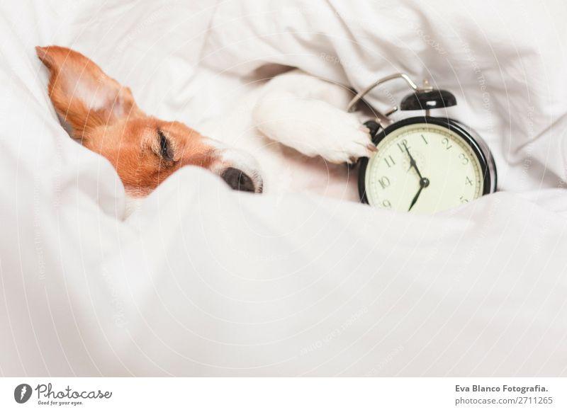 süßer Hund auf dem Bett liegend mit einem Wecker Lifestyle Glück Erholung Winter Wohnung Haus Uhr Schlafzimmer Arbeit & Erwerbstätigkeit