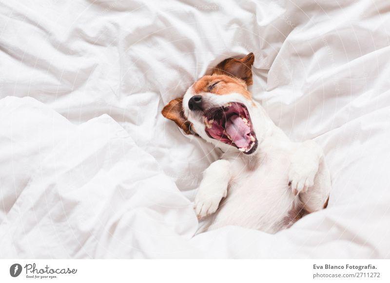 Hund auf dem Bett mit weißen Laken gähnend Glück Krankheit Leben Erholung Winter Haus Familie & Verwandtschaft Tier Herbst Wetter Wärme Haustier Liebe schlafen