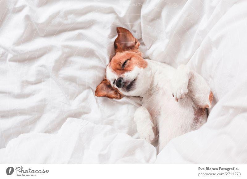 süßer Hund schläft auf dem Bett, weißes Bettlaken.morgens Glück Krankheit Leben Erholung Winter Haus Schlafzimmer Familie & Verwandtschaft Tier Herbst Wetter