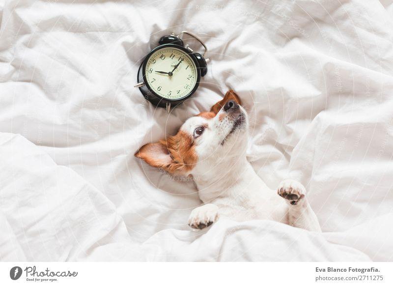 Hund auf dem Bett mit weißen Laken und Wecker Glück Leben Erholung Winter Haus Uhr Schlafzimmer Arbeit & Erwerbstätigkeit Familie & Verwandtschaft Tier Herbst