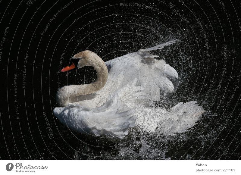 Mein böser Schwan Tier Flügel 1 Schwimmen & Baden Aggression ästhetisch elegant Sauberkeit weiß schön Stolz Armut rein Wassertropfen Farbfoto Außenaufnahme Tag