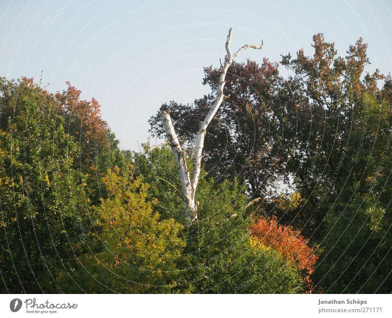 Birke Umwelt Natur Landschaft Pflanze Herbst Schönes Wetter Baum Wald braun mehrfarbig grün orange kahl Baumkrone frontal Mitte Wolkenloser Himmel Abendsonne
