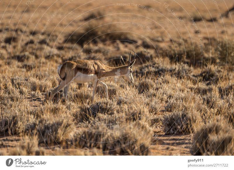Springbock Ferien & Urlaub & Reisen Tourismus Ausflug Abenteuer Ferne Freiheit Safari Expedition Umwelt Natur Landschaft Wärme Dürre Sträucher Wüste Südafrika