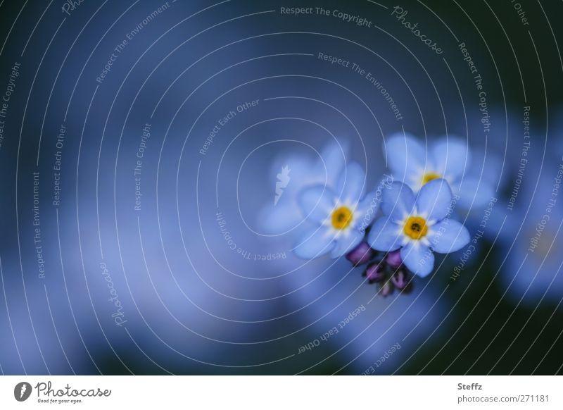 Weißt du noch? - Vergißmeinnicht Frühlingsblume romantisch blau dezent dunkelblau Romantik April blaue Blume Mai nah Blüte blaue Blumen Wildblumen hellblau