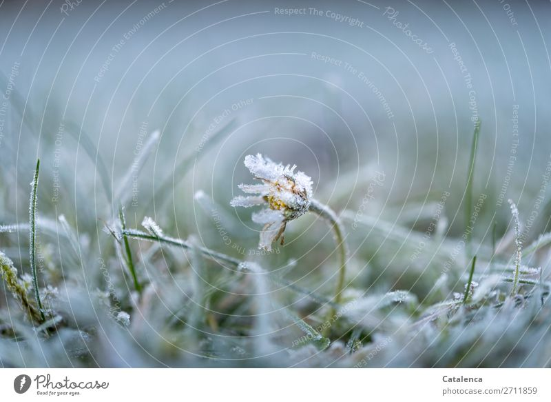 Kalt erwischt Natur Pflanze Urelemente Winter Eis Frost Blume Gras Moos Blatt Blüte Gänseblümchen Garten Park Blühend schön kalt gelb grau grün silber weiß