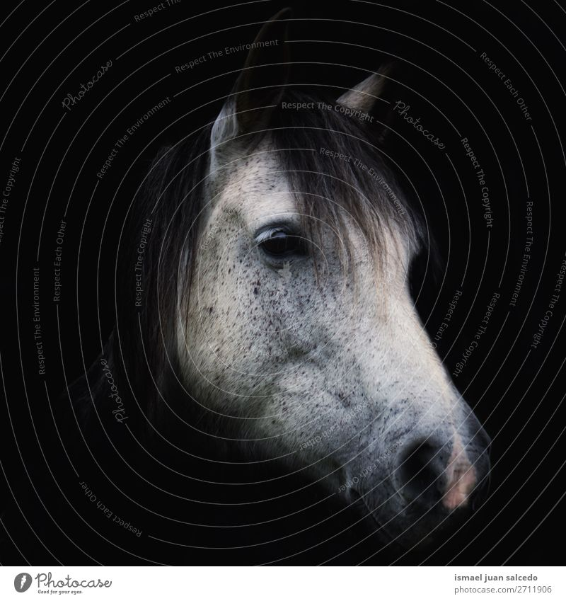 schönes Weißpferd-Porträt in der Natur Pferd weiß Tier wild Kopf Auge Ohren Behaarung niedlich Beautyfotografie elegant wildes Leben ländlich Wiese Bauernhof