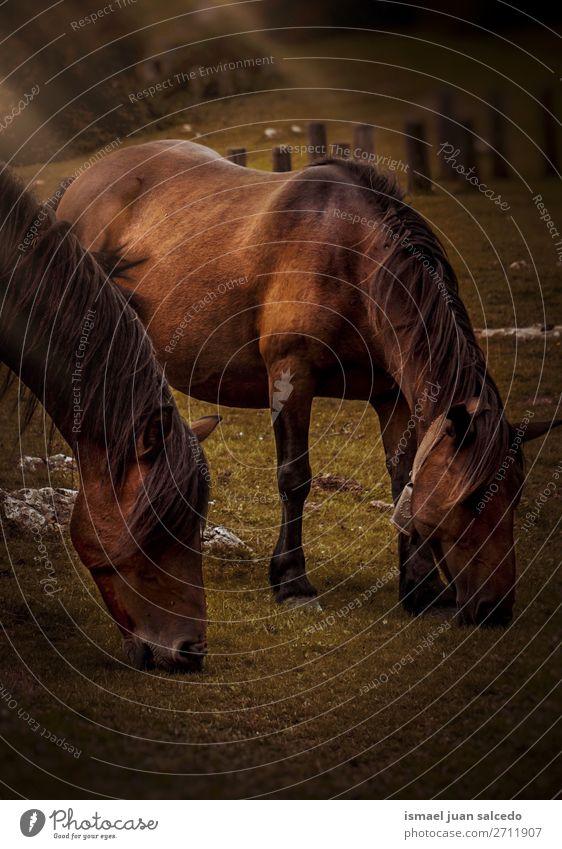 schöne braune Pferde im Berg in der Natur Porträt Tier wild Kopf Auge Ohren Behaarung niedlich Beautyfotografie elegant wildes Leben ländlich Wiese Bauernhof