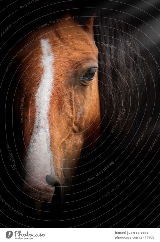 elegantes Braunpferd-Porträt in der Natur Pferd braun Tier wild Kopf Auge Ohren Behaarung niedlich Beautyfotografie wildes Leben ländlich Wiese Bauernhof