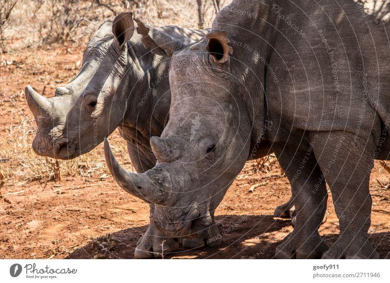 Nashornmutter mit Kind II Ferien & Urlaub & Reisen Tourismus Ausflug Abenteuer Ferne Freiheit Safari Expedition Umwelt Natur Landschaft Wärme Dürre Wüste