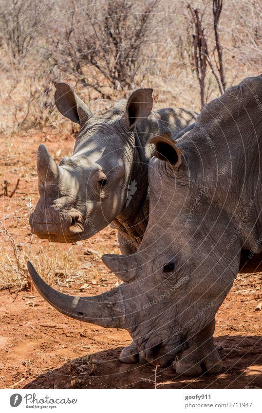 Nashornmutter mit Kind Ferien & Urlaub & Reisen Tourismus Ausflug Abenteuer Ferne Freiheit Safari Expedition Umwelt Natur Wärme Dürre Wüste Südafrika Afrika