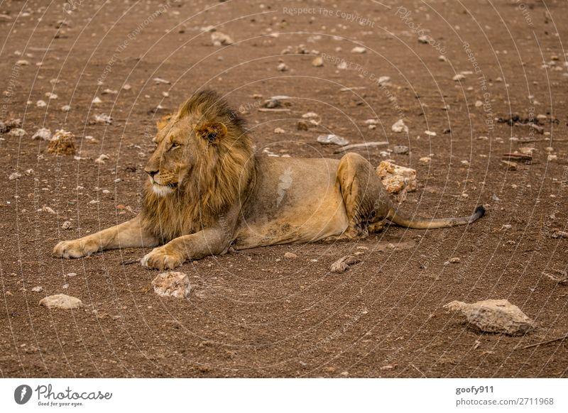 Einfach nix tun Ferien & Urlaub & Reisen Tourismus Ausflug Abenteuer Ferne Freiheit Safari Expedition Umwelt Natur Erde Wärme Dürre Tier Wildtier Tiergesicht