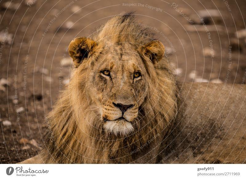 Aufmerksam!!! Ferien & Urlaub & Reisen Tourismus Ausflug Abenteuer Ferne Freiheit Sightseeing Safari Expedition Wärme Dürre Tier Wildtier Tiergesicht Fell Löwe