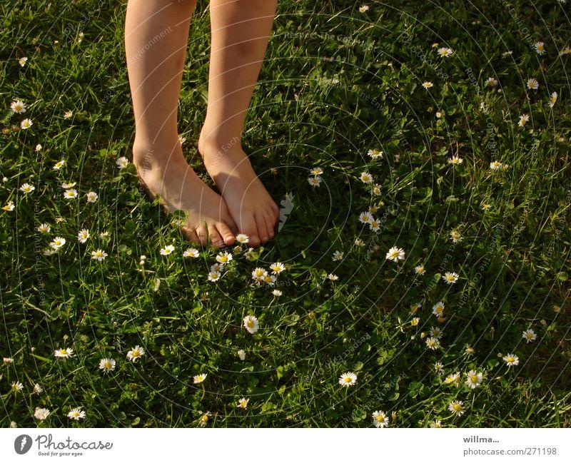 nackte Füße in kühlem feuchten Gras mit Gänseblümchen Wiese grün Kind barfuß Gänseblümchenwiese Kindheit Beine Jugendliche Sommer fühlen natürlich