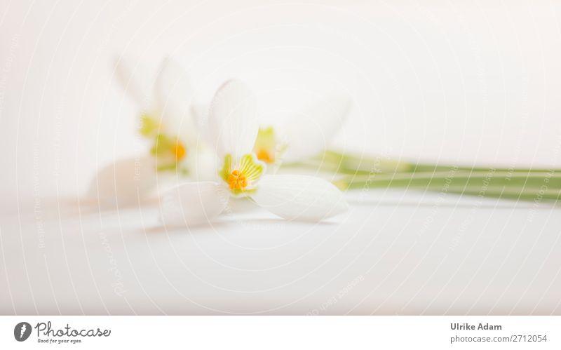 Schneeglöckchen - Blumen Design Wellness Leben harmonisch Zufriedenheit Erholung Meditation Spa Dekoration & Verzierung Tapete Feste & Feiern Valentinstag