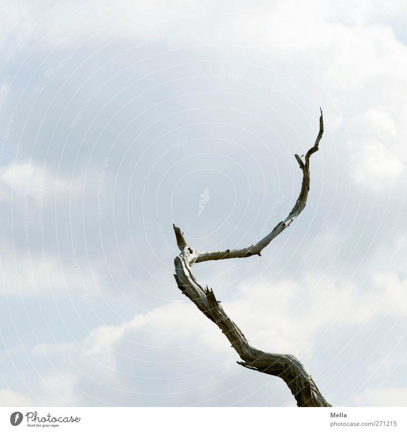 Der aufsteigende Ast Natur Baum Pflanze Umwelt natürlich trist Spitze einzeln Vergänglichkeit trocken lang Verfall bizarr vertrocknet Umweltverschmutzung