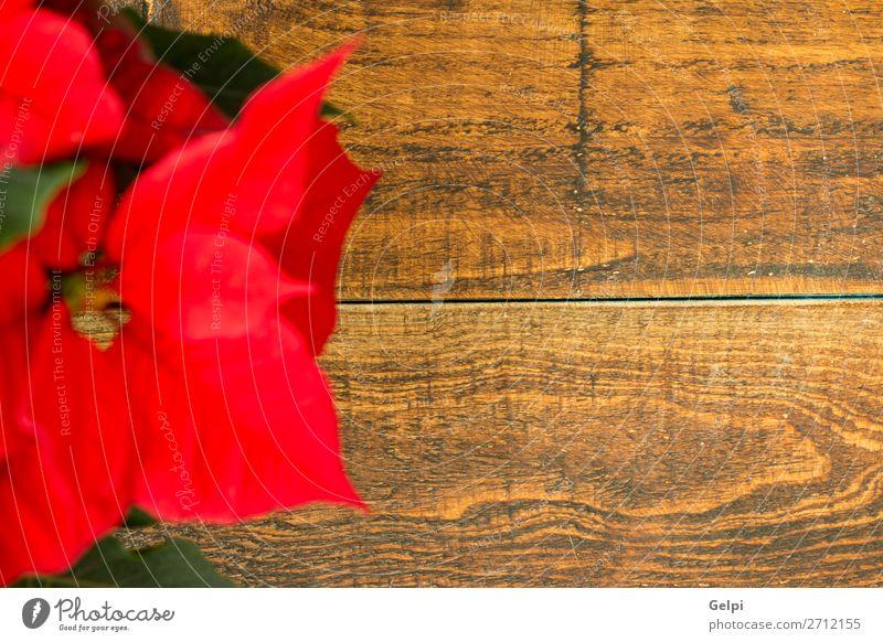Schöner roter Weihnachtsstern schön Winter Garten Dekoration & Verzierung Feste & Feiern Weihnachten & Advent Natur Pflanze Blume Blatt Blüte Holz Ornament hell