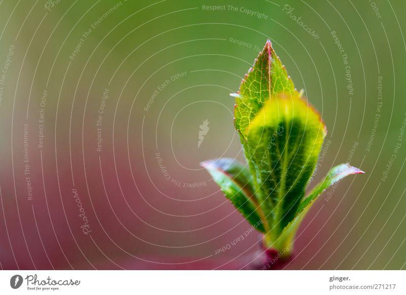 Emporkömmling Umwelt Natur Pflanze Frühling Sträucher Blatt grün Blattknospe Spitze streben vertikal rechts Blattadern zart zartes Grün Farbfoto mehrfarbig