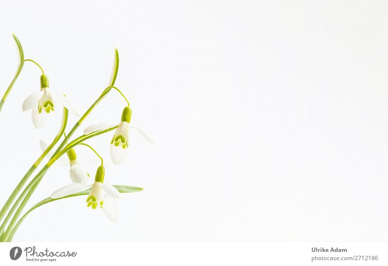 Schneeglöckchen Natur Pflanze grün weiß Blume Erholung Hintergrundbild Blüte Frühling Feste & Feiern Design Dekoration & Verzierung hell elegant Blühend