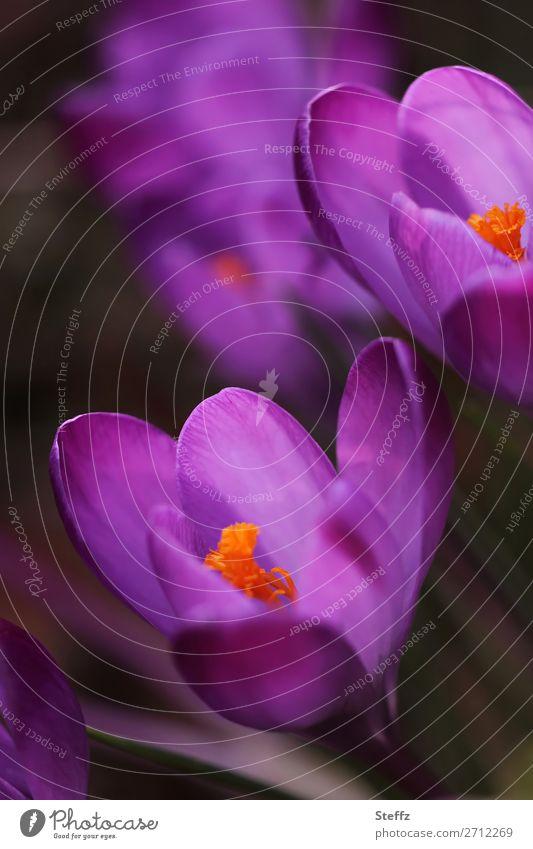 Krokusse Valentinstag Natur Pflanze Frühling Blume Blüte Wildpflanze Frühlingsblume Frühblüher Frühlingskrokus Blütenblatt Blütenstempel Garten Park Blühend