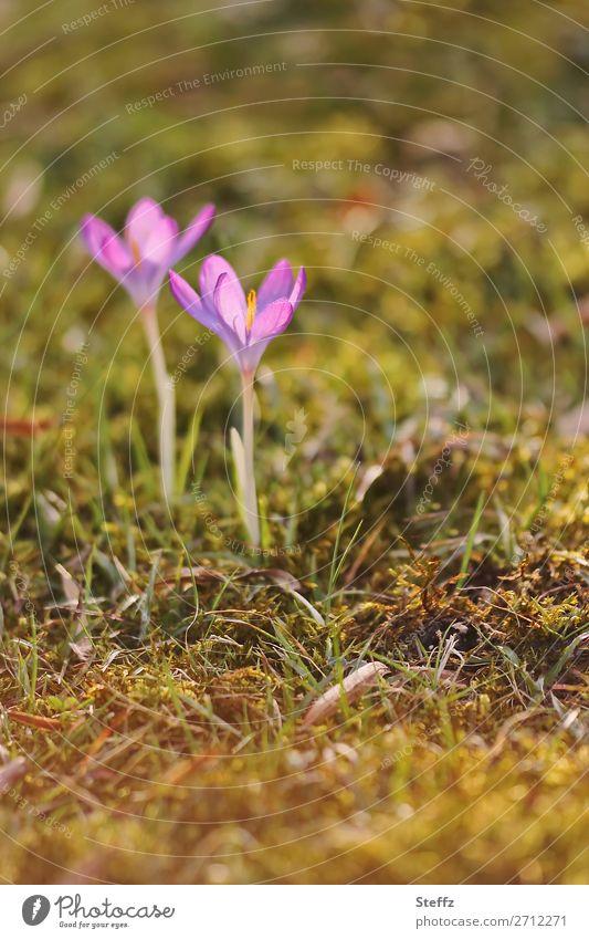 blühende Krokusse in der Frühlingssonne blühende Frühlingsblumen Frühlingserwachen Frühlingskrokusse Frühblüher März April zarte Blüten zarte Blumen lila Blumen