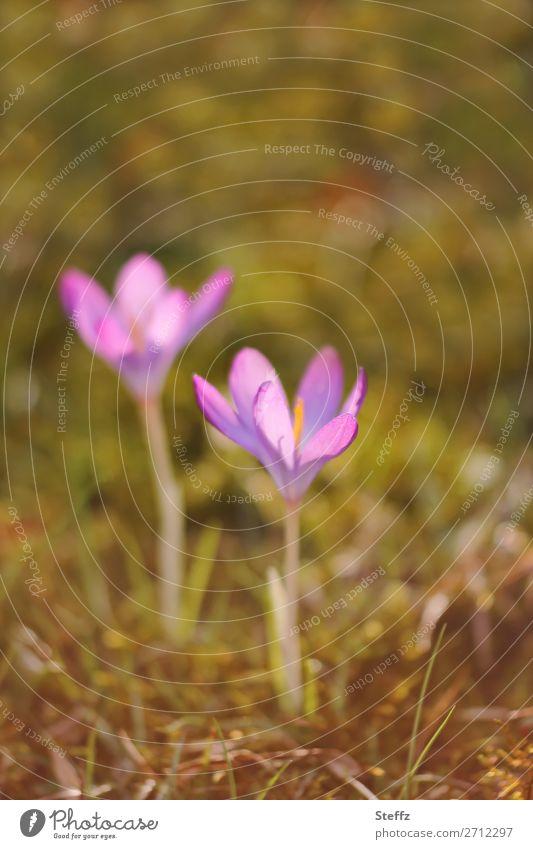 Die Vorboten Natur Pflanze schön grün Blume Blüte Frühling Garten Park Wachstum Beginn Schönes Wetter Blühend Zeichen neu violett