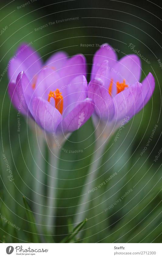 Bald blühen die Krokusse Natur Pflanze schön grün Blume Blüte Frühling Garten Zusammensein Freundschaft Park Wachstum Blühend neu Zusammenhalt violett
