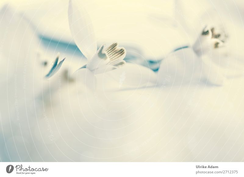 Schneeglöckchen Natur Pflanze weiß Blume Hintergrundbild Blüte Frühling Traurigkeit Feste & Feiern Design Dekoration & Verzierung hell Hoffnung Ostern weich