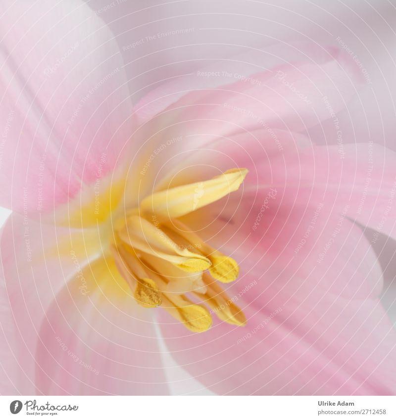 Blumen und Natur - Rosa Frühlingstraum elegant Design Wellness Meditation Spa Dekoration & Verzierung Tapete Feste & Feiern Muttertag Ostern Pflanze Tulpe Blüte