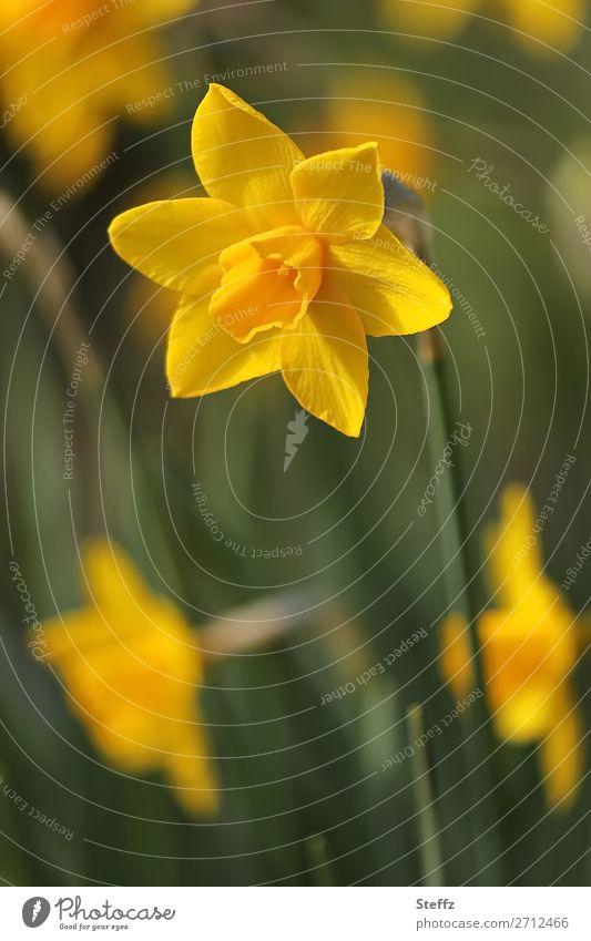 Der Frühling kommt noch mal Natur Pflanze Blume Blüte Wildpflanze Narzissen Frühlingsblume Blütenblatt Frühblüher Gartenblume Park Straßenrand Blühend Wachstum
