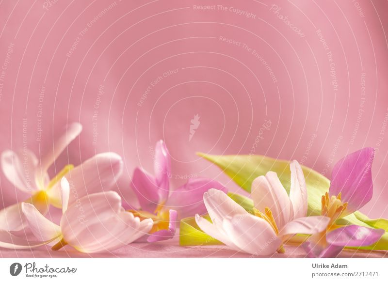 Tulpenblüten - Blumen Stil Design schön Wellness harmonisch Erholung ruhig Meditation Kur Spa Massage Dekoration & Verzierung Tapete Hintergrundbild