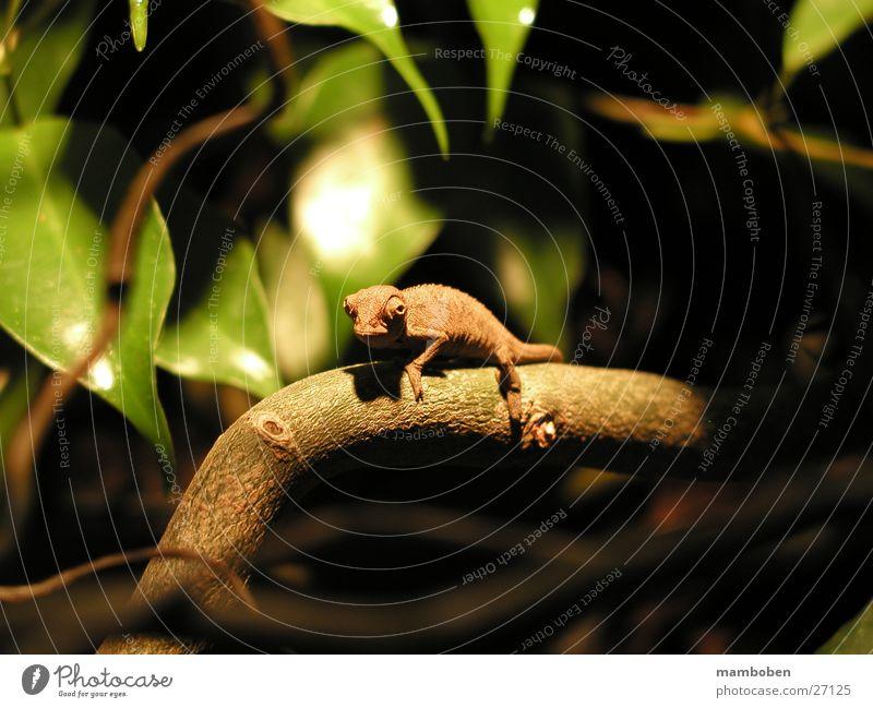 Chamaeleo ellioti Reptil Tier Wildtier Chamäeleon Chameleo Natur