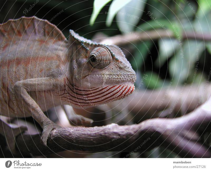 Chamaeleo cristatus Reptil Tier Wildtier Chamäeleon Chameleo Natur