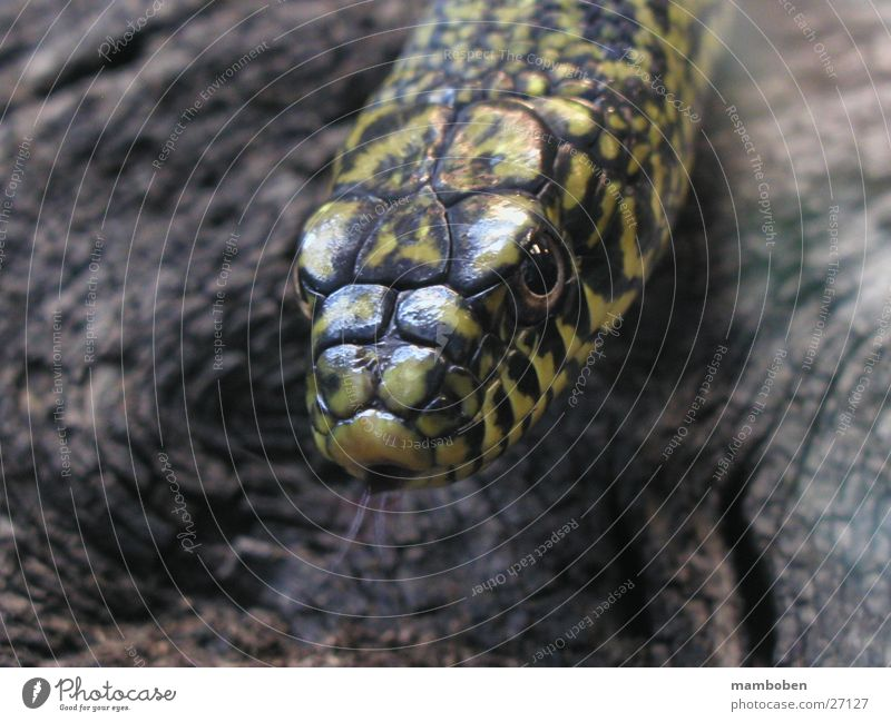 The Whistler Natur Tier Wildtier Schlange Natter