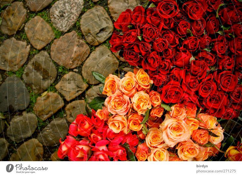 Rosl, Resi und Annerose schön rot gelb Blüte rosa frisch leuchten viele Rose Blühend Blumenstrauß Kopfsteinpflaster Duft Vielfältig Blumenhändler Marktstand