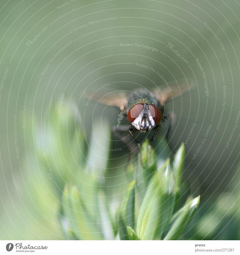 Erstes Fliegenfoto Umwelt Natur Pflanze Tier Wildtier 1 grau grün Auge Facettenauge Spitze sitzen Farbfoto Außenaufnahme Nahaufnahme Menschenleer