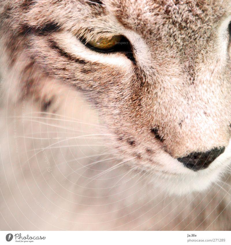 Luchsuriös :) Tier Wildtier Tiergesicht Säugetier Landraubtier Katze 1 kuschlig braun Farbfoto Außenaufnahme Nahaufnahme Tag Starke Tiefenschärfe Tierporträt