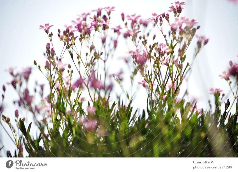 Baby´s Breath Natur blau grün schön Pflanze Sommer Blume Blatt Blüte rosa natürlich elegant Wachstum frisch ästhetisch Romantik